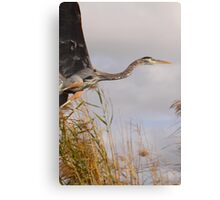 Great Blue Heron Takes Flight Canvas Print