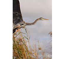 Great Blue Heron Takes Flight Photographic Print