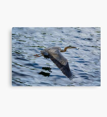 Great blue heron in fly Canvas Print