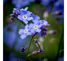 Wood Forget Me Not Photographic Print