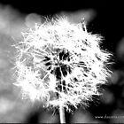 Dandelion by dazaria