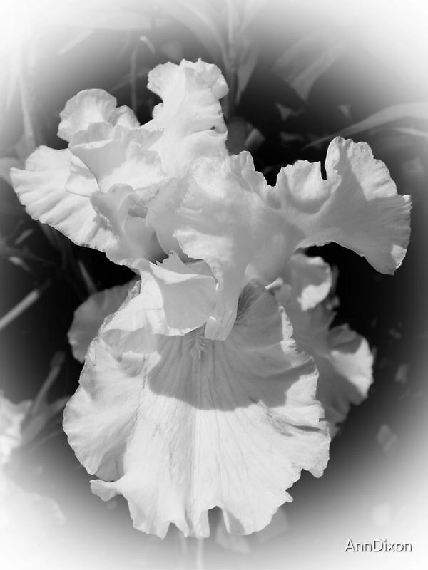 Black & White IRIS by AnnDixon
