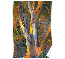 Warm Touch of Sunlight on Bark Poster