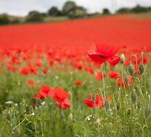 Poppy Field in the Spring by TiarasTeddies