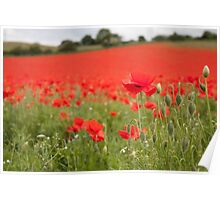 Poppy Field in the Spring Poster