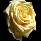 Yellow Rose by Doug McRae