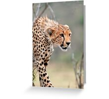 Male Cheetah  Greeting Card
