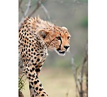 Male Cheetah  Photographic Print