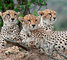 A Coalition of Cheetahs - Masai Mara by Brad Francis
