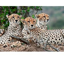 A Coalition of Cheetahs - Masai Mara Photographic Print