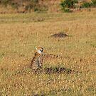 Sunset Cheetah by Brad Francis