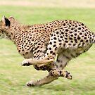 Cheetah Sprint by Brad Francis