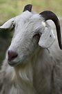 A Goat Portrait by yolanda