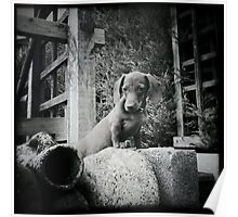 Dachshund on a wall Poster