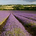 Lavender in the summer sun near Alton  by Alex Cassels