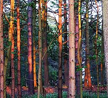 Old Hatfield Forest by Paul  Green