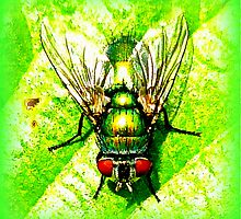 Green Bottle Fly by ©The Creative  Minds