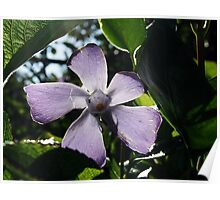 Backlight Clematis Poster