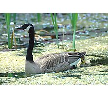 Canada Goose and Gosling Photographic Print