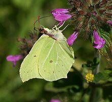 Brimstone butterfly on flowers in Bentley Wood by Michael Field