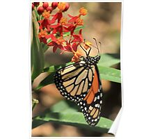 Monarch butterfly on milkweed flowers, Gibraltar Poster