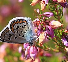 Silver-studded Blue butterfly on heather by Michael Field