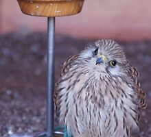 Kes the Kestrel! by cheekybuster