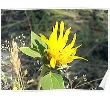 Wild Sunflower Shining Bright Poster