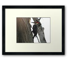 Pileated woodpecker chipping away Framed Print
