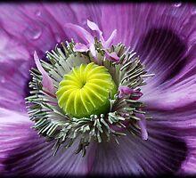 ~ Poppy ~ by Leeo
