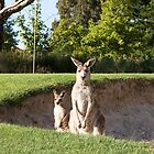 Kangaroos on the golf course, by Anna Calvert