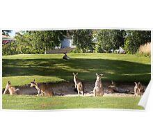 Kangaroos in sand bunkers Poster