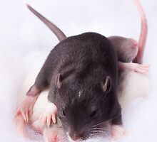 Cute rats playing in fluff by PhotographerAri