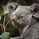 """Snack Time"" Koala eating eucalyptus leaves by John Hartung"