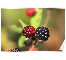 Red and black blackberry fruits. Poster