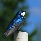 Tree Swallow on PVC Pipe by Robert Miesner