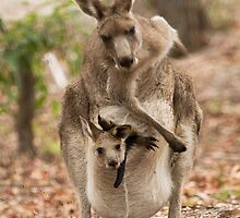 Kangaroo, just having a scratch! by Anna Calvert