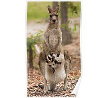 Kangaroo Poster