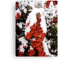 Berried in snow! Canvas Print