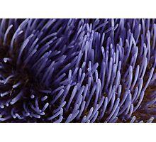 Artichoke flower Photographic Print