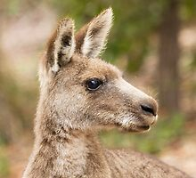 Kangaroo portrait by Anna Calvert