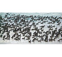 Sea of Coots Photographic Print