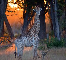 Botswana Wildlife #2 - Giraffe by SusieWS