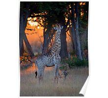 Botswana Wildlife #2 - Giraffe Poster