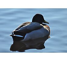 Mallard Silhouette Photographic Print