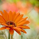 Orange Daisy by Oscar Gutierrez