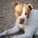 Beautiful Bulldog by luvinmynikon