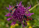 "Greater Knapweed with ""6-spot Burnet"" Moths by George Row"