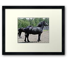 Proud Sire And His Mares Framed Print