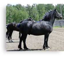 Proud Sire And His Mares Canvas Print